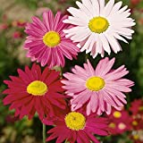Gaillardia - Grandiflora Mixed - 150 Seeds