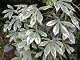 Ornamental Verigated Manihot Esculenta or Cassava(15cm. Long) 2 Stem Cuttings for Growing.S