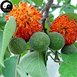 Buy Paper Mulberry Tree Seeds 30pcs Plant Broussonetia Papyrifera for Gou Shu