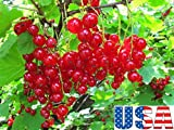 Red Lake Currant 25-100 seeds HEIRLOOM NON-GMO