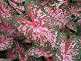 Carolyn Whorton Caladium (6 bulbs) Easy 2 Grow,Inside or Out,Great in containers
