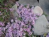 100 WALK ON ME CREEPING THYME Thymus Serpyllum Herb Flower Seeds