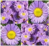 4 Packs x 800 Fleabane Daisy - Erigeron Speciosus FLOWER SEEDS - Aspen Fleabane - 1 TO 5 FEET TALL BLOOMS JUNE TO OCTOBER - By MySeeds.Co