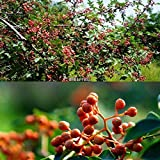 Go Garden 50Pcs: 20/50/100Pcs Garden Balcony Beautiful Bonsai Plants Sichuan Pepper Tree My8L