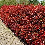 "PHOTINIA FRASERI - RED TIP PHOTINIA - 1 PLANT - 4"" POT"