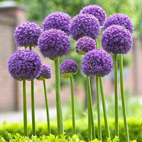 Allium Gladiator 15 Flower Bulbs 16/18cm | Purple | from Longfield Gardens