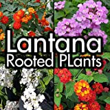 Lantana Plants - Trailing white