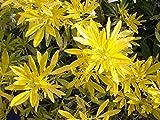 4 Starter Plants of Choisya Ternata Goldfingers