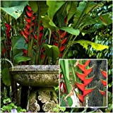 Live Rhizome Heliconia bihai 'Lobster Claw One' Tropical flowers From Thai
