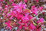 Heirloom 5 Seeds Loropetalum Chinense Var. Rubrum 'Daruma' Exotic Bonsai Rare Plant Seed