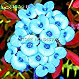 2016 Hot Sale 50pcs Multicolor Euphorbia Milii Seeds Rare New Rare Flowering Plants Four Season For Home Garden
