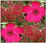 700 x SCARLET FLAX Seed ~ BRILLLIANT DEEP RED - Linum grandiflorum rubrum - HEAVY BLOOMS Flower Seeds ~ Zone 3-10 - By MySeeds.Co