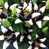 Van Zyverden Lilies - Asiatic Black Eye - Set of 7 Bulbs, Black, White