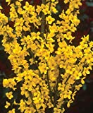 "Show Off Forsythia x 'Mindor' PP19,321 - Proven Winners - 4"" Pot"