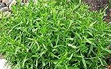 Organic vegetable Tarragon seeds (Artemisia dracunculus) Estragon - 500 seeds.
