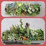 Go Garden S. Confusum: Succulent Assorted Cutting Sedum/Crassula/Echeveria/Aeonium/Kalanchoe Cactus DIY