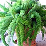 Foxtail Fern Seeds (Asparagus aethiopicus) 10+ Rare Tropical Plant Seeds + FREE Bonus 6 Variety Seed Pk - a .95 Value! Packed in FROZEN SEED CAPSULES for Growing Seeds Now or Saving Seeds for Years