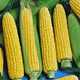 CORN, GOLDEN BEAUTY, HEIRLOOM, NON-GMO, ORGANIC 100 SEEDS, DELICIOUS, GOLDEN AND SWEET