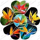 HOO PRODUCTS - Houseplants Strelitzia reginae seed long flowering bird of paradise seeds 100 particles / bag Brand New !