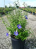 PlantVine Thunbergia erecta, King's Mantle - Large - 8-10 Inch Pot (3 Gallon), Live Plant - 4 Pack