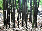 Rare Fresh Black Bamboo Seeds Phyllostachys Nigra 100+ seeds