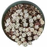 Cape Blanco Sedum spathufolium 'Cape Blanco' (2 inch)