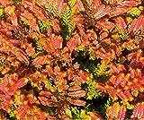 HEIRLOOM NON GMO Firefly Heather (Calluna Vulgaris) 25 seeds