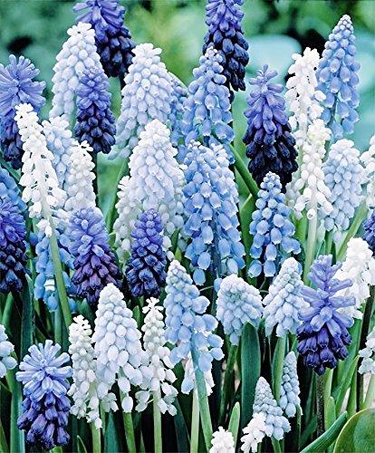 36 Muscari Deft Blue Moon Mixture - Grape Hyacinth
