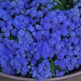 Floss Flower 'Blue Ball' (Ageratum Houstonianum Mill.) Flower Plant Seeds, Annual Heirloom