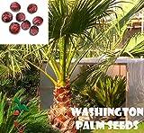 25 Washington palm seeds, ( WASHINGTONIA FILIBUSTA ) from Hand Picked Nursery