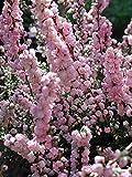 "H.E. Beale Scotch Heather - Calluna vulgaris - Hardy - 2.5"" Pot"