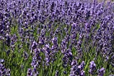 "Findlavender - Lavender Angustifolia HIDCOTE Blue (Dark Purple Flowers) - 4"" Size Pot - Zones 5-10 - Bee Friendly - Attract Butterfly - Evergreen Plant - 1 Live Plant"