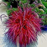 Crimson FOUNTAIN GRASS pennisetum ornamental patio garden seeds