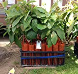 Fuerte Grafted Avocado Tree - Cold Hardy - Live Avocado Tree