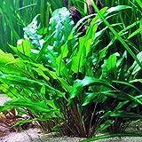 Mainam (Crypt Wendtii Green) Cryptocoryne Wendtii Stem Bundle Freshwater Live Aquarium Plants Decoration