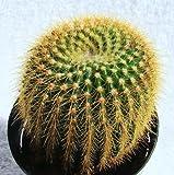 1 Bare Root of Notocactus Leninghausii