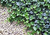 """Thorndale English Ivy 48 Plants - Hardy Groundcover - 1 3/4"""" Pots"""