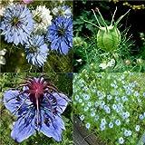 HEIRLOOM NON GMO Blue Flowering Black Cumin 200 seeds