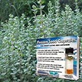 Cleopatra Zaatar Seeds (Origanum syriacum) 10+ Rare Medicinal Herb Seeds + FREE Bonus 6 Variety Seed Pk - a .95 Value! Packed in FROZEN SEED CAPSULES for Growing Seeds Now or Saving Seeds for Years