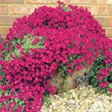 AUBRIETA ROYAL RED ROCK CRESS / PERENNIAL / DEER RESISTANT ,50+ FLOWER SEEDS