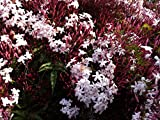 9EzTropical - Jasminum polyanthum - Pink Jasmine - 2 Feet Tall - Ship in 1 Gal Pot
