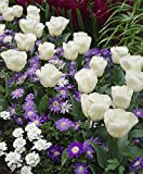 50 Spring Magic Mix - 15 Tulisp ,10 Anemone Blanda White Splendour 10 Muscari Aucheri White Magic and 15 Muscari, Blue Wonder .Terrific for Forcing!