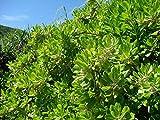 Plentree Seeds Package: Fresh Seeds Scaevola (Sera) Beach Naupa