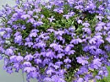 200 LILAC LOBELIA REGATTA Lobelia Erinus Flower Seeds