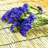 Statice Flower Garden Seeds - QIS Series - Pale Blue - 1000 Seeds - Annual Flower Gardening Seed - Limonium sinuata