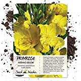 Seed Needs, Evening Primrose (Oenothera lamarckiana) 6,000 Seeds