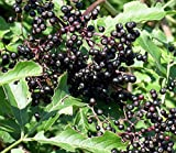 "York Elderberry Shrub - Sambucus - 3.25"" Pot - Largest Berries"