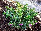 Mexican Heather Aka Cuphea Hyssopifolia 'Lavender' Live Plant Perennial Plant Fit 01 Gallon Pot