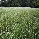 Outsidepride Buckwheat Cover Crop Seed - 10 LB