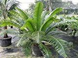 PlantVine Dioon spinulosum, Mexican Cycad - Extra Large - 12-14 Inch Pot (7 Gallon), Live Plant